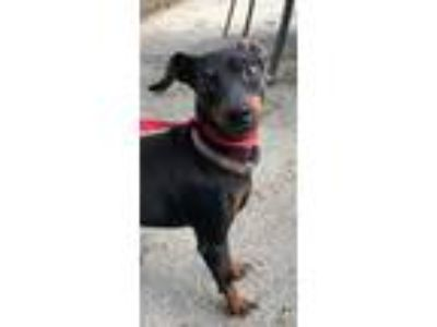 Adopt Maverick a Black Miniature Pinscher / Mixed dog in New Albany