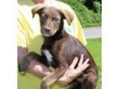 Adopt Hazel 30558 a Chocolate Labrador Retriever, Husky