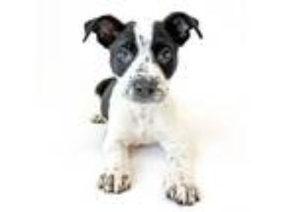 Adopt Paris a Australian Cattle Dog / Blue Heeler, Pit Bull Terrier