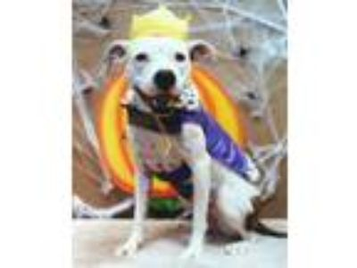 Adopt Sylvia a White - with Tan, Yellow or Fawn Boxer / Mixed dog in Denton