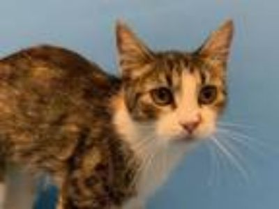 Adopt 42242005 a Domestic Short Hair