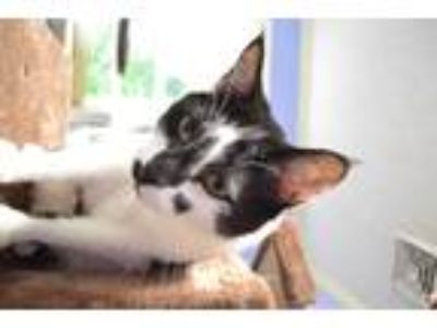 Adopt BAGHEERA a Black & White or Tuxedo Domestic Shorthair (short coat) cat in