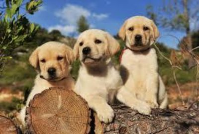 Purebred registered Labrador Retriever puppies/ READY TO GO