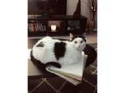 Adopt Minnie Mouse a Black & White or Tuxedo Turkish Van / Mixed cat in Houston
