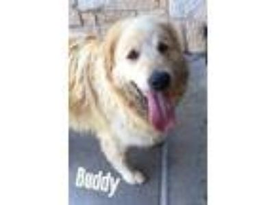 Adopt Buddy a White Great Pyrenees / Golden Retriever / Mixed dog in Lewisville