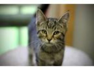 Adopt Laurie at Petco 7/13 a Gray or Blue Domestic Shorthair / Mixed (medium
