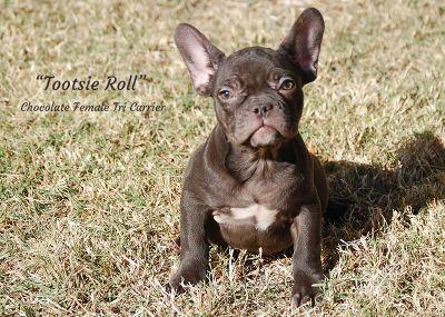 French Bulldog PUPPY FOR SALE ADN-108280 - AKC Chocolate French Bulldogs