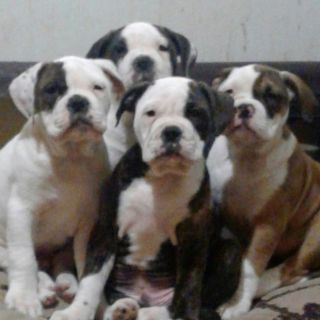 Olde English Bulldogge PUPPY FOR SALE ADN-65075 - Olde English bulldogge puppies