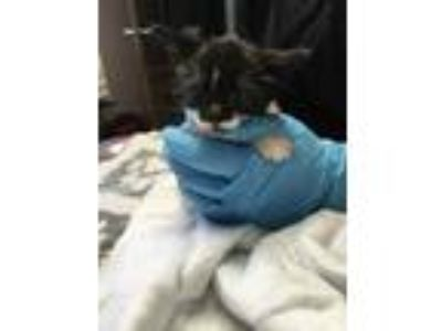 Adopt Monkey a White Domestic Shorthair / Domestic Shorthair / Mixed cat in St.
