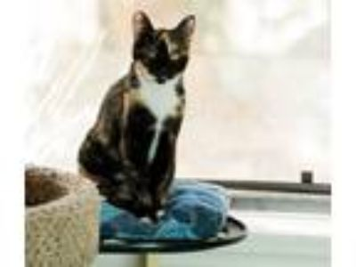 Adopt Flower a Calico or Dilute Calico Domestic Shorthair (short coat) cat in