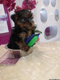 YORKIE PUPPIES FOR SALE !!!