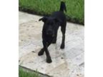Adopt Captain Rico a Black Labrador Retriever / Mixed dog in Fort Lauderdale