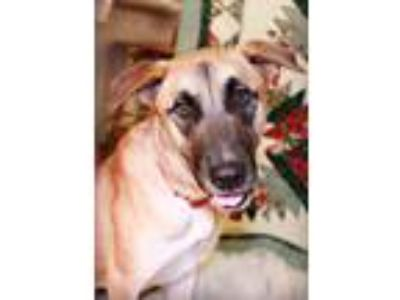 Adopt Sassy a Brown/Chocolate - with Tan German Shepherd Dog / Mixed dog in