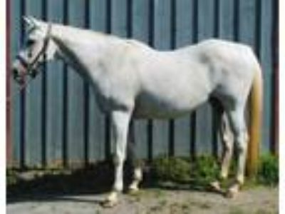 Adopt Summer Bee a Gray Appendix horse in Lovettsville, VA (19009658)