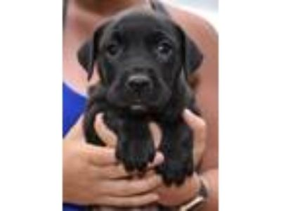Adopt Mama Aspen Puppy - Granby a Labrador Retriever dog in Sheridan