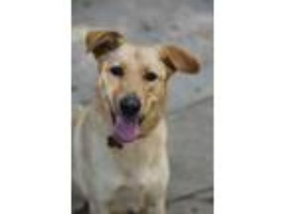 Adopt LuLu a Red/Golden/Orange/Chestnut Labrador Retriever / Golden Retriever /