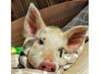 Adopt Baby Patches a Pig
