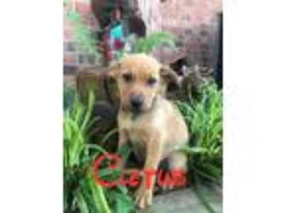 Adopt Cletus a Black - with Tan, Yellow or Fawn Mixed Breed (Medium) / Mixed dog