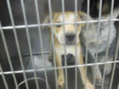 Adopt GHOST a Tan/Yellow/Fawn - with White Basenji / Mixed dog in Oklahoma City
