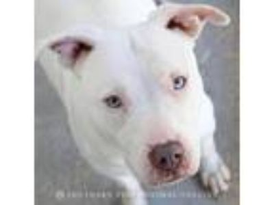 Adopt Sansa a White - with Tan, Yellow or Fawn American Staffordshire Terrier