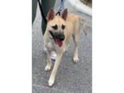 Adopt Foxy a German Shepherd Dog, Mixed Breed