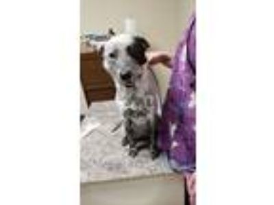 Adopt Creed a Cattle Dog