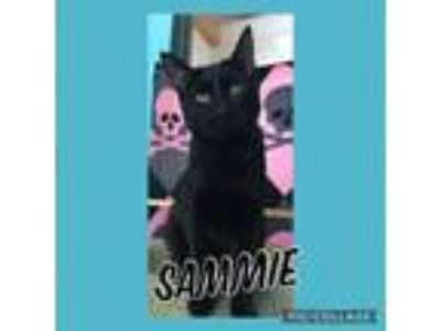 Adopt Sammie a Domestic Short Hair