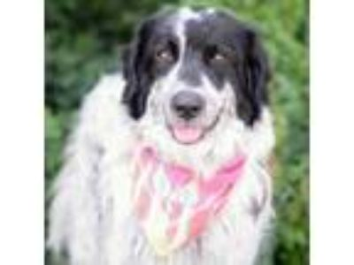 Adopt Molly a Great Pyrenees