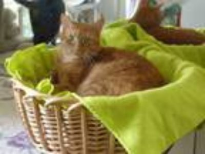 Adopt Cayanne a Domestic Short Hair