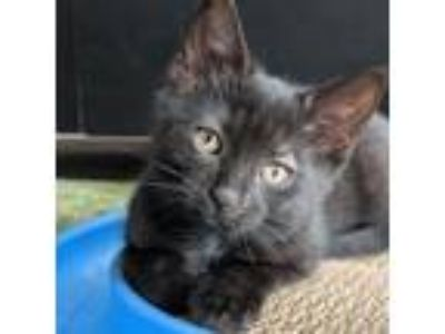 Adopt Daffodil a Domestic Short Hair