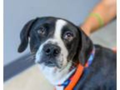 Adopt Otis - available 7/21 a Border Collie, Great Dane