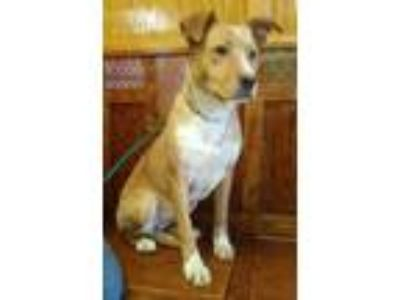 Adopt Stars a Collie, Mixed Breed