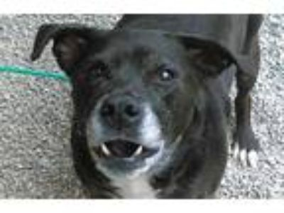 Adopt ELOISE a Black - with White Labrador Retriever / Mixed dog in Missoula