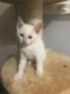 Mello Siamese Cat