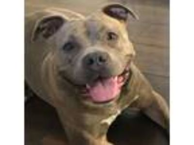 Adopt Sasha a American Staffordshire Terrier / Mixed dog in Elgin, IL (25839426)