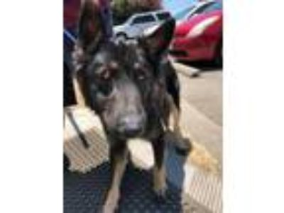 Adopt Tzar a Black German Shepherd Dog / Mixed dog in Fresno, CA (25826601)