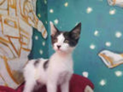 Adopt BUBBLES a White (Mostly) Domestic Shorthair / Mixed (short coat) cat in