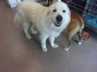 Adopt SUGAR a White Great Pyrenees / Mixed dog in Arlington, TX (25299793)