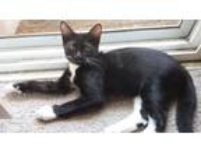 Adopt Tux a Black & White or Tuxedo Domestic Shorthair / Mixed (short coat) cat