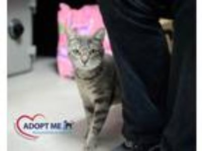 Adopt Aimee a Brown Tabby Domestic Shorthair (short coat) cat in Alexandria
