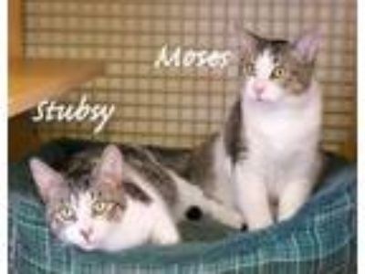 Adopt Stubsy and Moses, Brothers Manx Mixed Cat a Manx, Domestic Short Hair