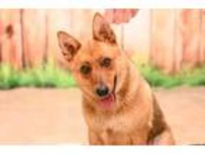Adopt Foxy a Red/Golden/Orange/Chestnut Mixed Breed (Medium) / Mixed dog in New