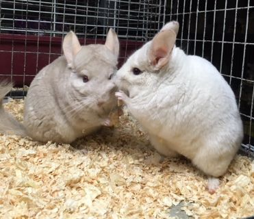 Pair of Mother / Daughter Female Chinchillas Up for Adoption -- pink white & homo beige