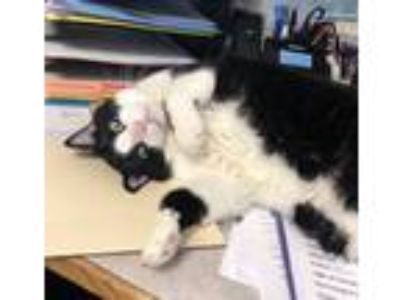 Adopt Andy a Black & White or Tuxedo Domestic Shorthair (short coat) cat in