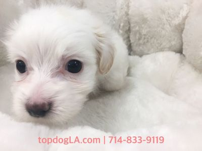 Maltipoo Puppy- Female- Tiffany ($1,299)