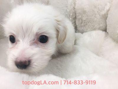 Maltipoo Puppy- Female- Tiffany ($1,299)