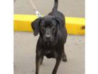 Adopt Rescue Carly a Black Labrador Retriever / Hound (Unknown Type) / Mixed dog