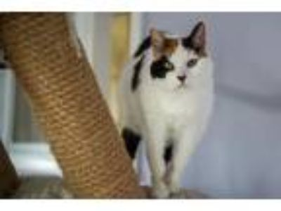 Adopt Patches a Domestic Shorthair cat in East Norriton, PA (22751310)