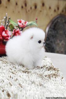 -Gorgeous Mini/Toy Pomeranian Puppies