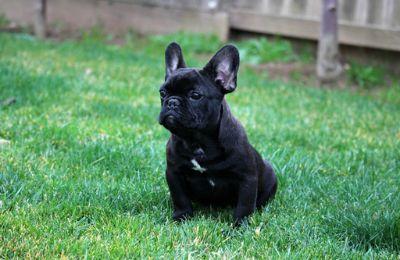 French Bulldog PUPPY FOR SALE ADN-112531 - French bulldog male